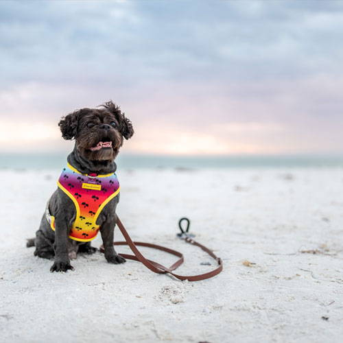 cute brown dog at the beach tied to the saker stake