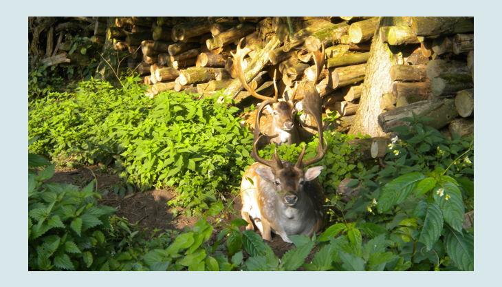 wildpark dünnwald rehe hirsche