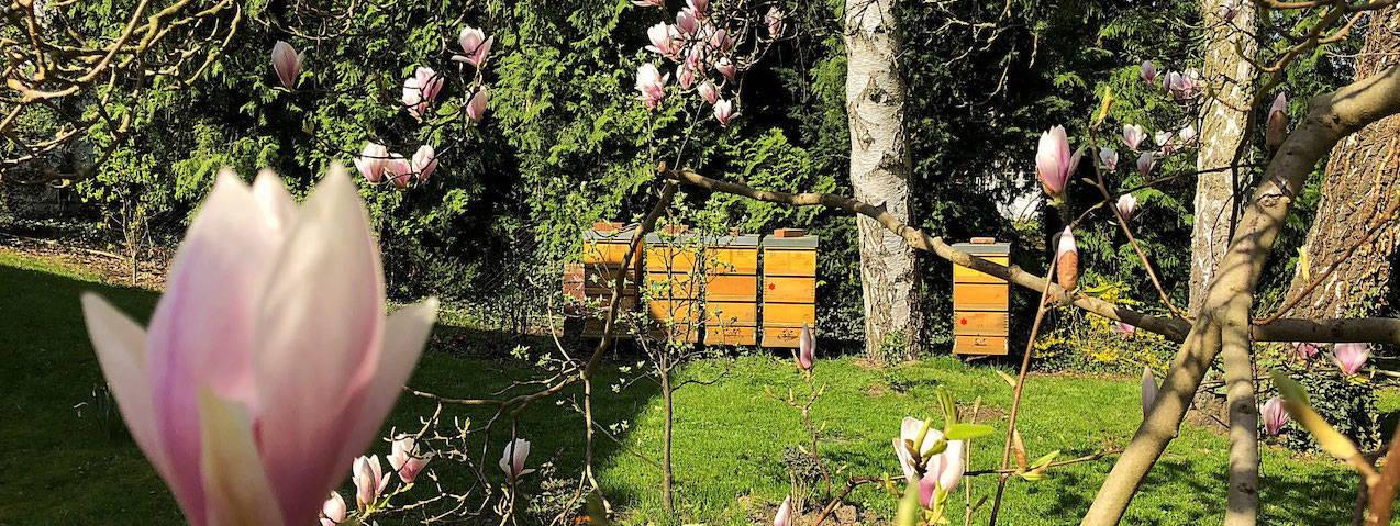Bienenvölker die neben zwei Birken stehen. Im Vordergrund sieht man mehrere Magnolienblüten.