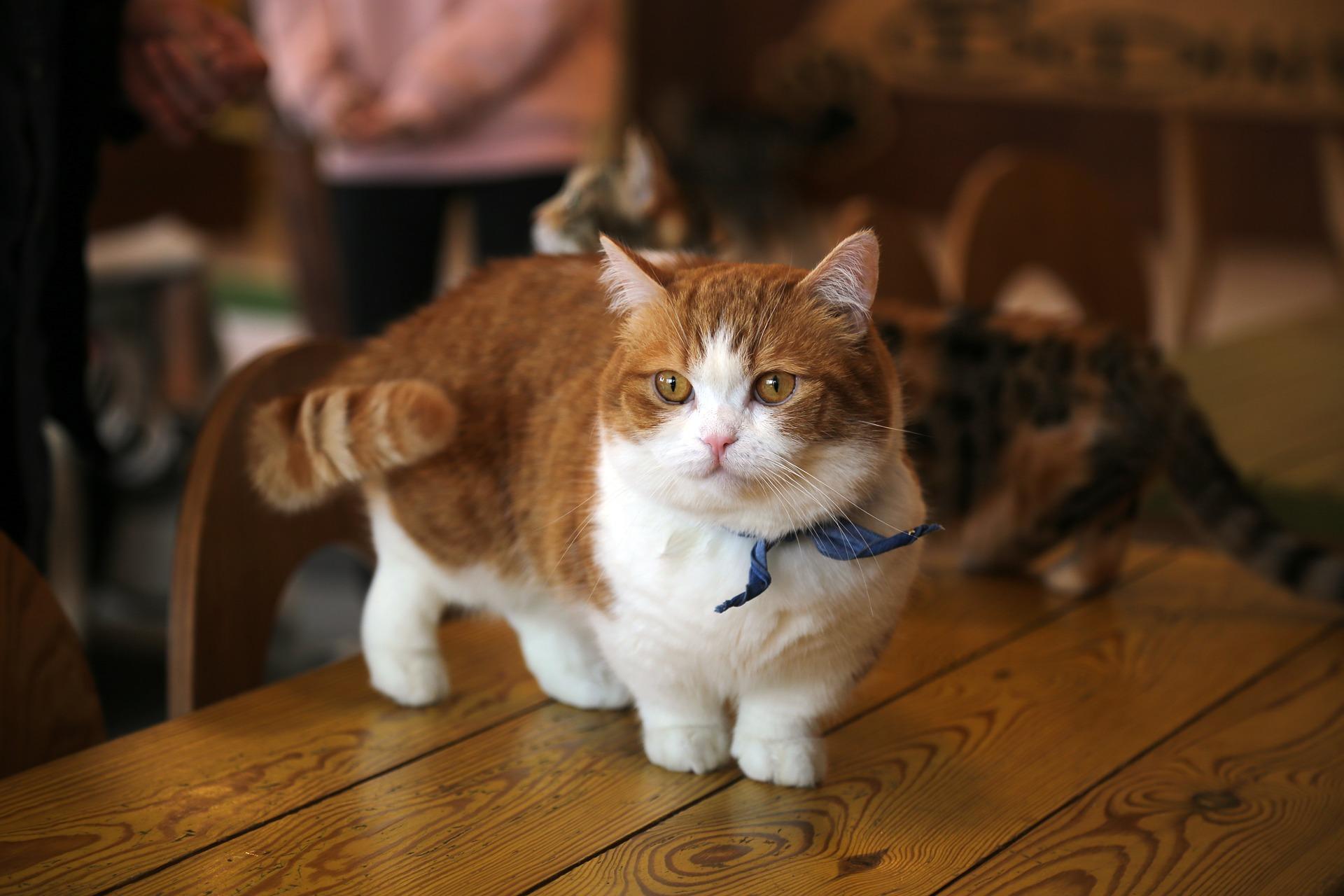 Munchkin, a raça do gato anão