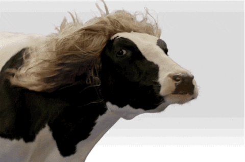A gif of a cow with a blonde hair wig