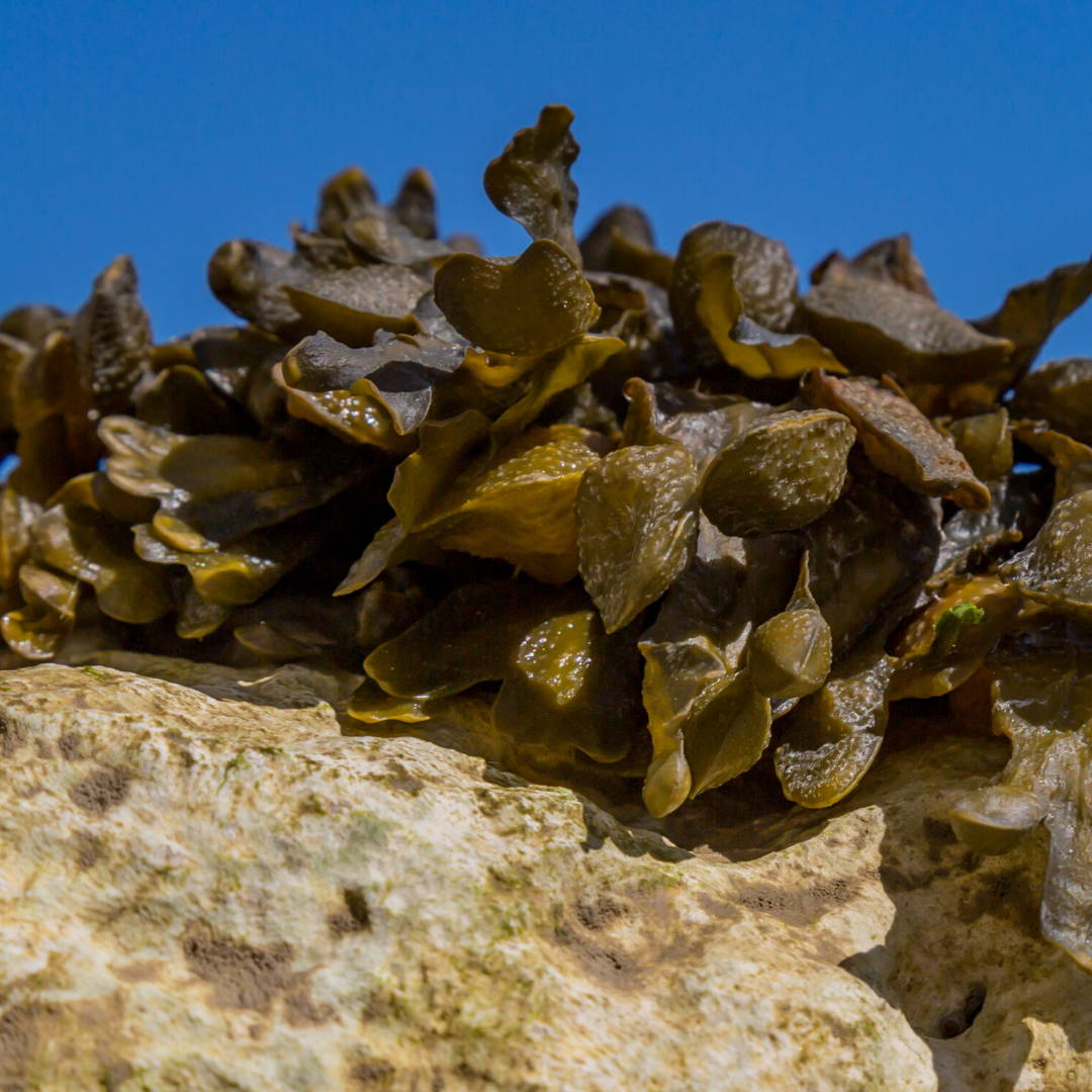Brown Seaweed Extract Skin Care