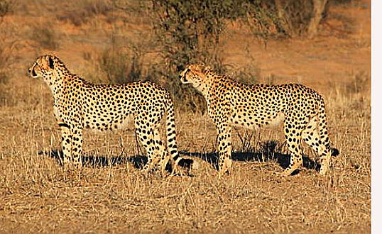South Africa - Cheetah Outreach's primary goal is to promote the survival of the free ranging, South African, cheetah through environmental education and conservation initiatives https://www.cheetah.co.za/