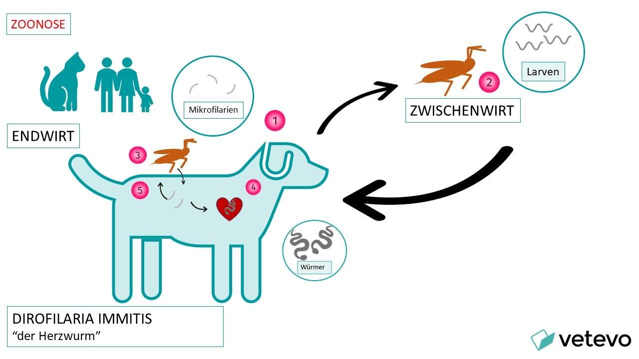 Grafik - Entwicklung des Herzwurms beim Hund