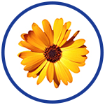Calendula for natural pain relief