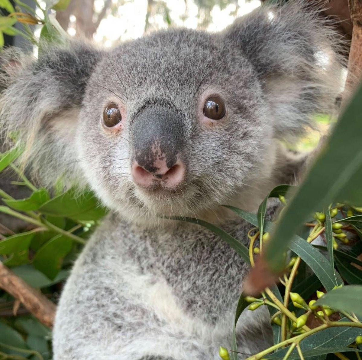 It's a koala