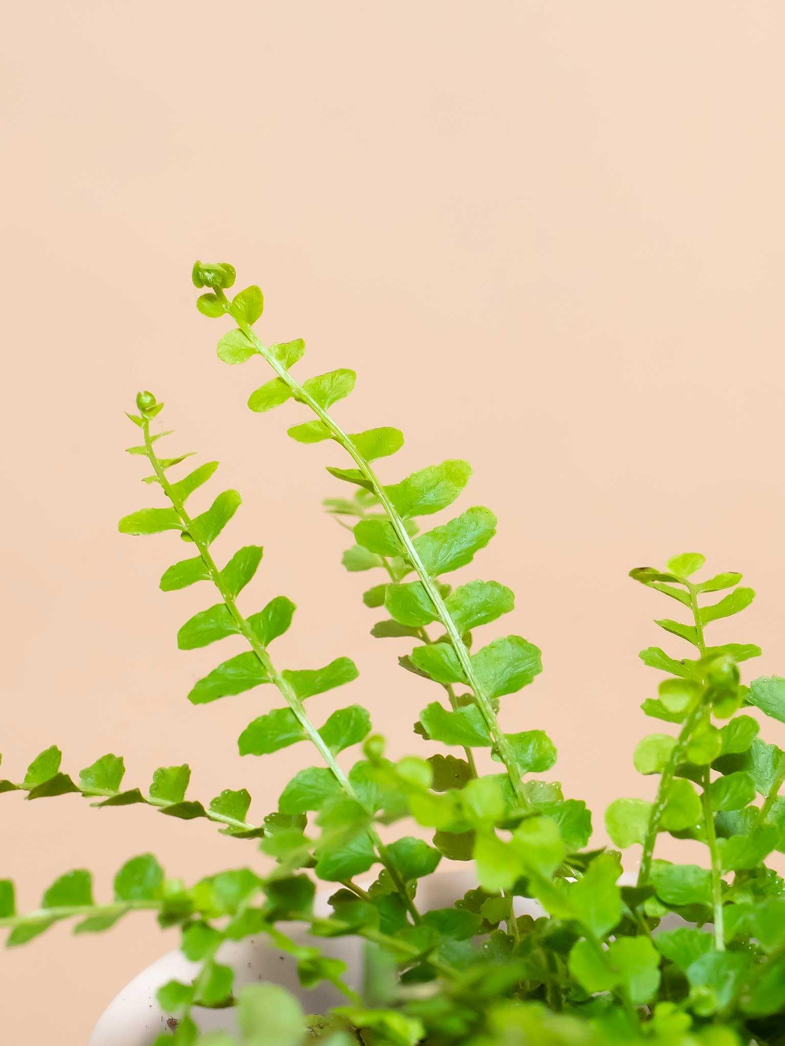 Lemon button fern leaf