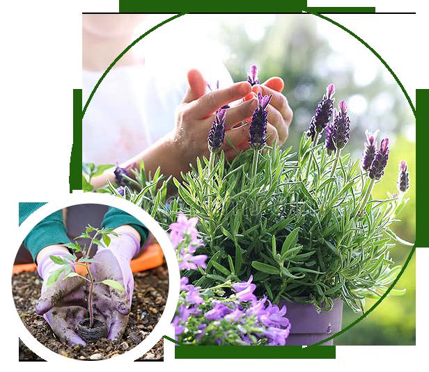 Lavender plants in pot