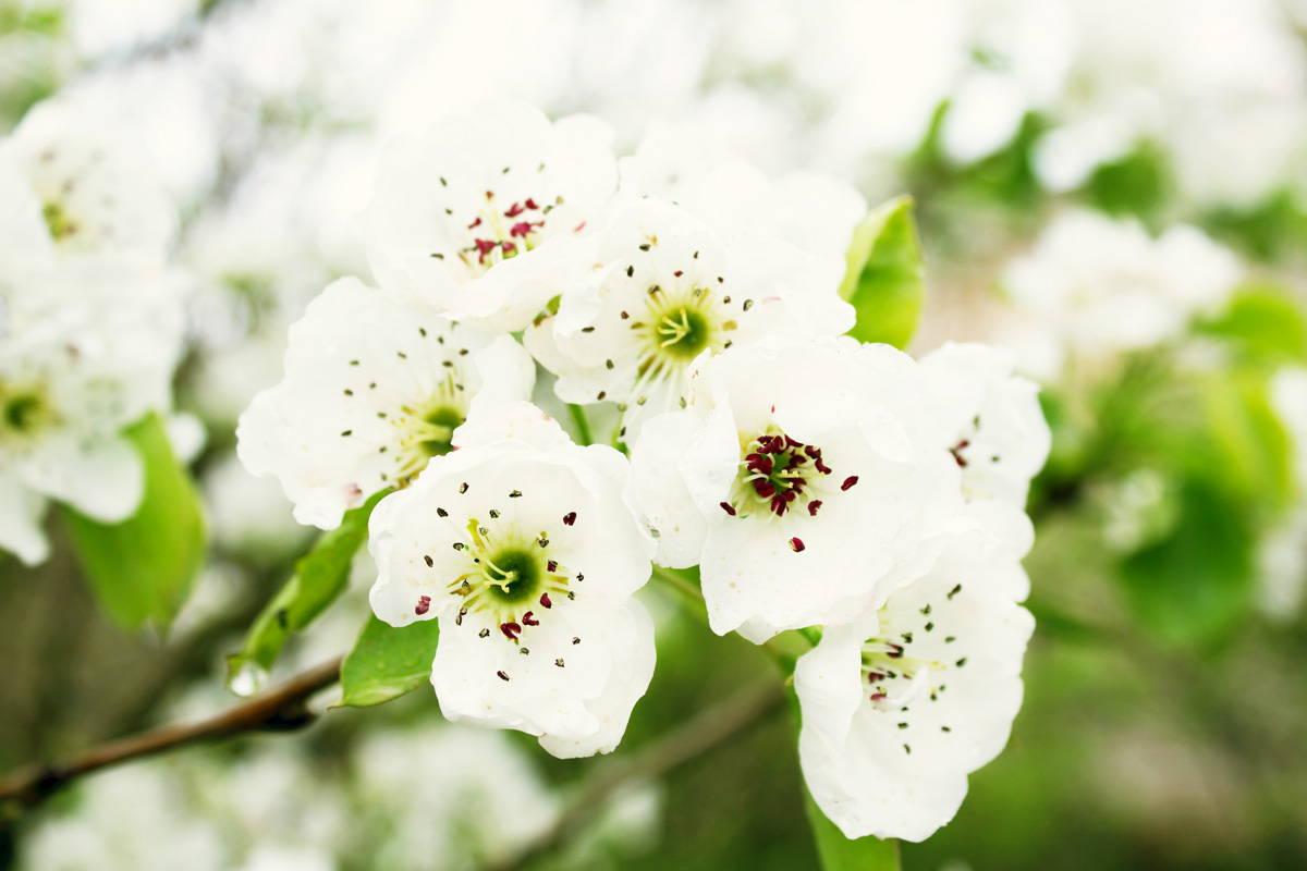 Flor de pérolas
