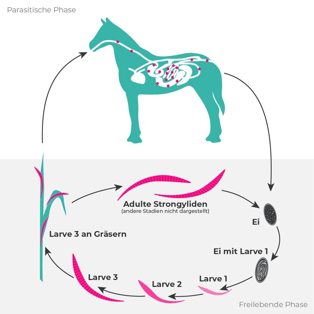 Entwicklungszyklus: Blutwurm (Große Strongyliden) beim Pferd