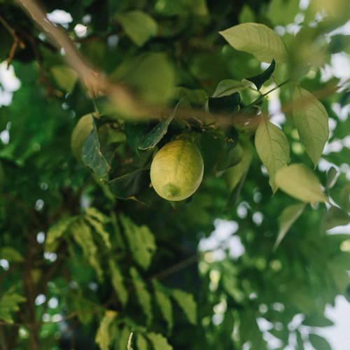image of a lemon tree