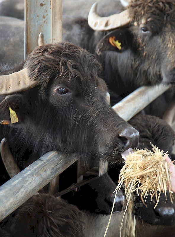Allevamento di bufale