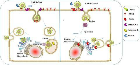 Figure 3. A schematic diagram of the process of SARS-CoV and SARS-CoV-2 infecting host cells