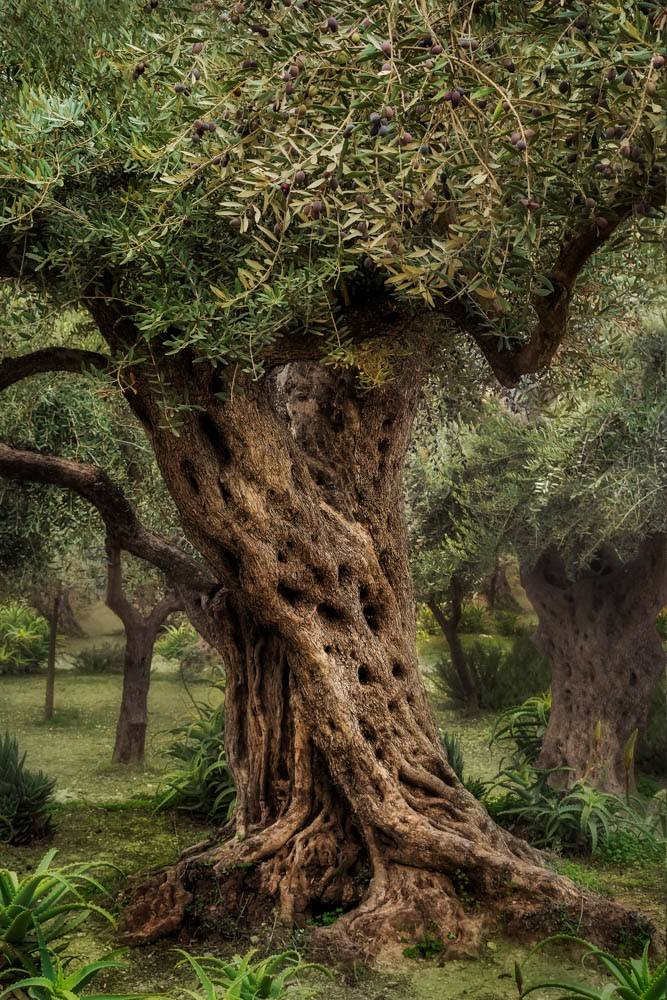 Photo of an olive tree in the Garden of Gethsemane.