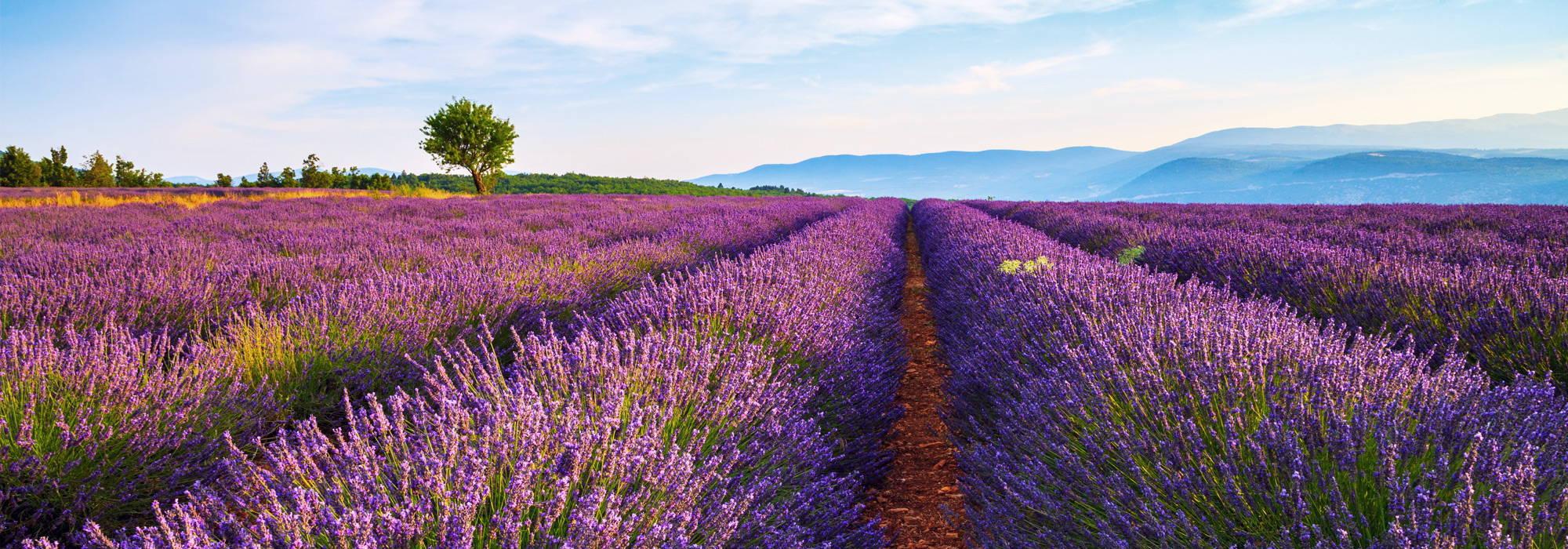 Mademoiselle Provence - Lavender