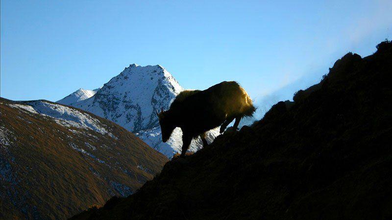 Yak in the Himalayan Mountains, Bhutan