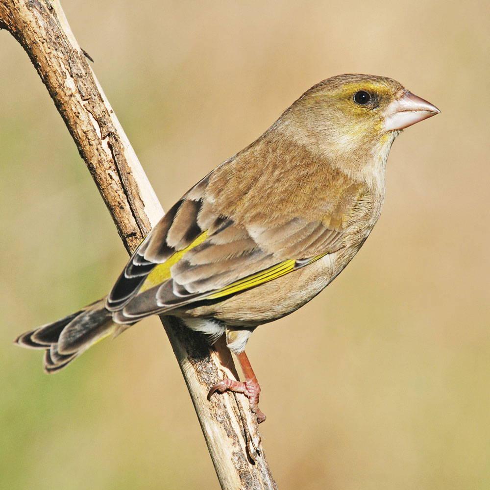 Topflite premium bird feed for greenfinch
