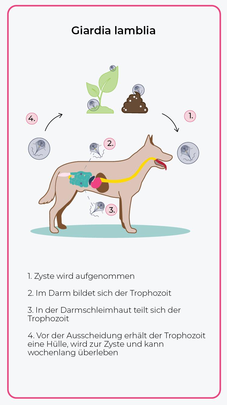 Abbildung: Hund Giardien Lebenszyklus - vetevo