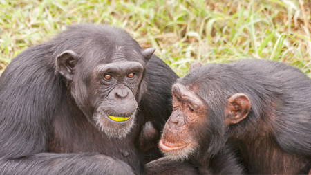 Visit the Chimpanzees
