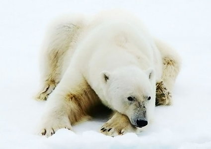 wildlife-of-the-arctic