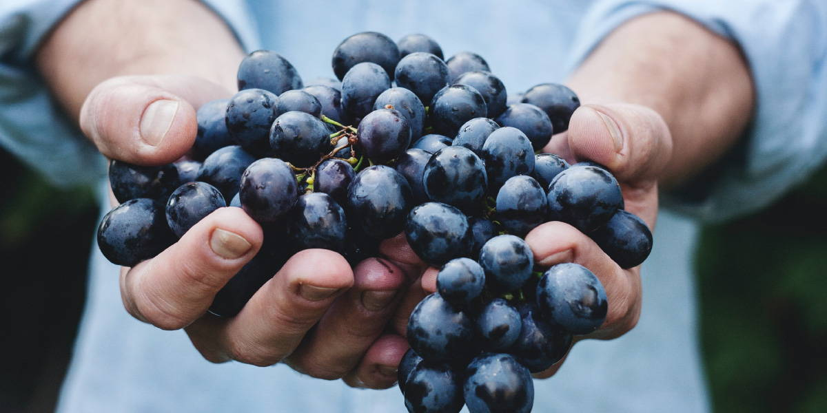 Person holding black grapes in hand highlighting the notion that red wines hold a bitterness that come from the tennis of the wine.