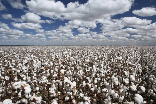 cotton plantation