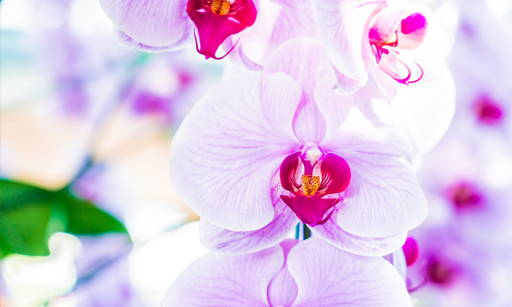 Orchid The symbol of eternal youth. It activates vital processes in the skin, stimulates