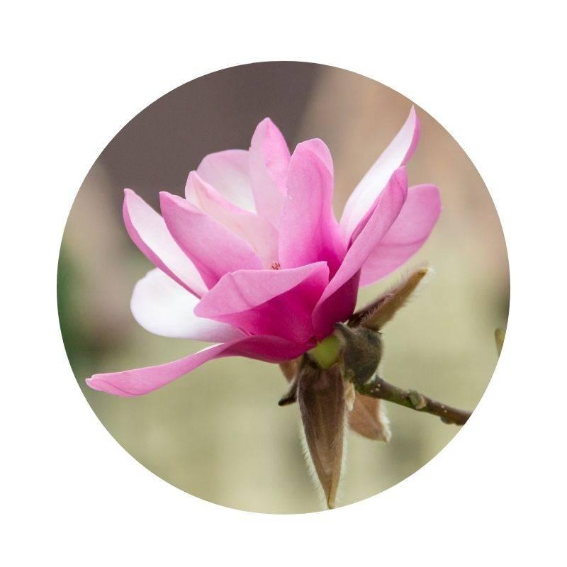 MAGNOLIENBAUM Magnolia Heilpflanzen Heilkräuter Lexikon Heilwirkung Wirkung