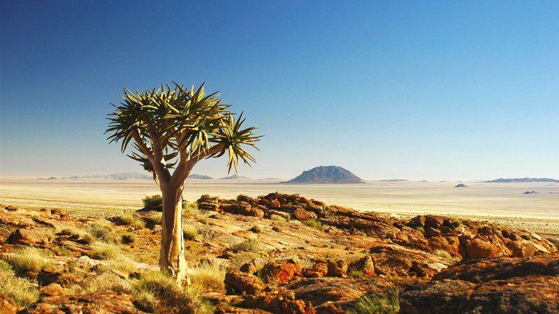 Quiver tree (Kokerboom), Namibia