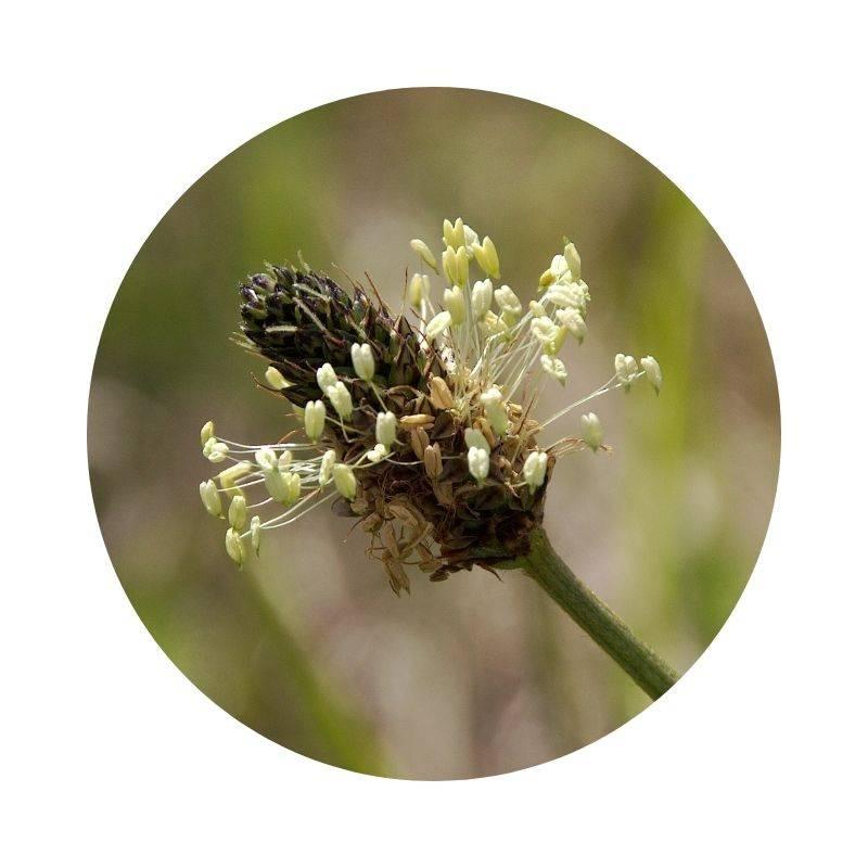 SPITZWEGERICH Plantago lanceolata Heilpflanzen Heilkräuter Lexikon Heilwirkung Wirkung