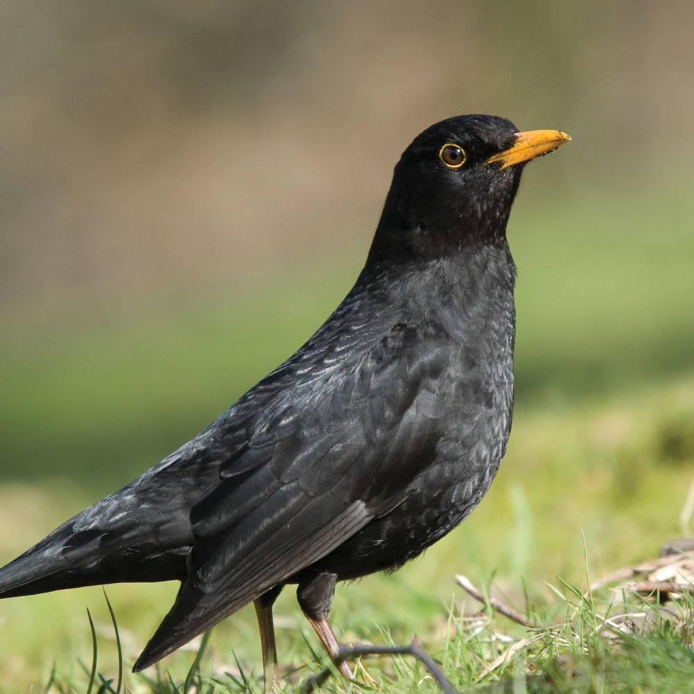 Topflite Blackbird