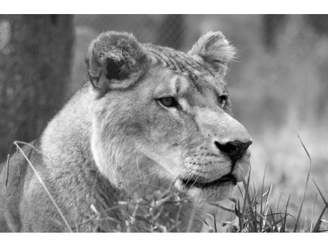 Carolina Tiger Rescue Wrapped Canvas - Tarzan Lion