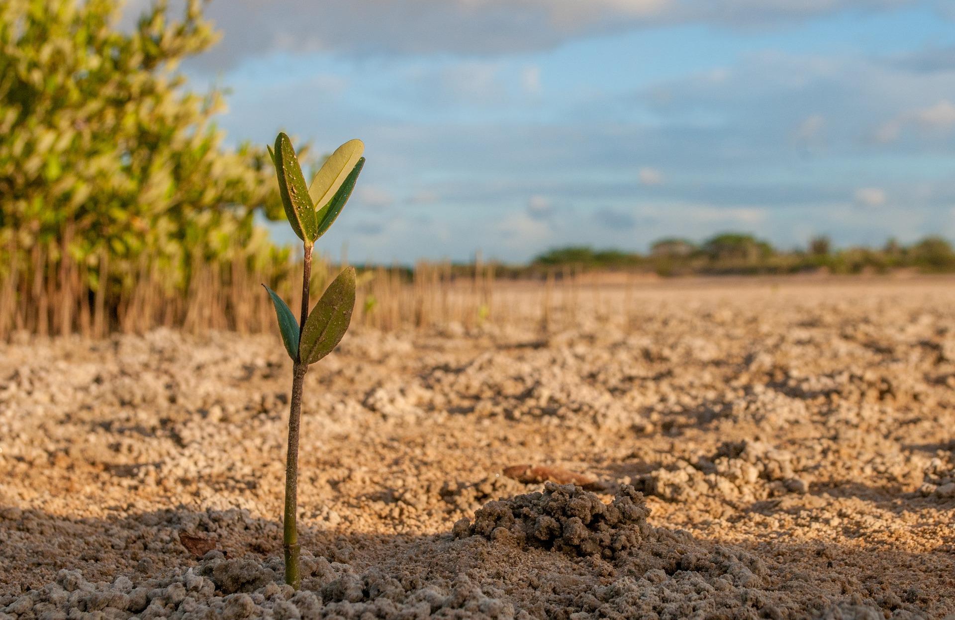 A mangrove sapling