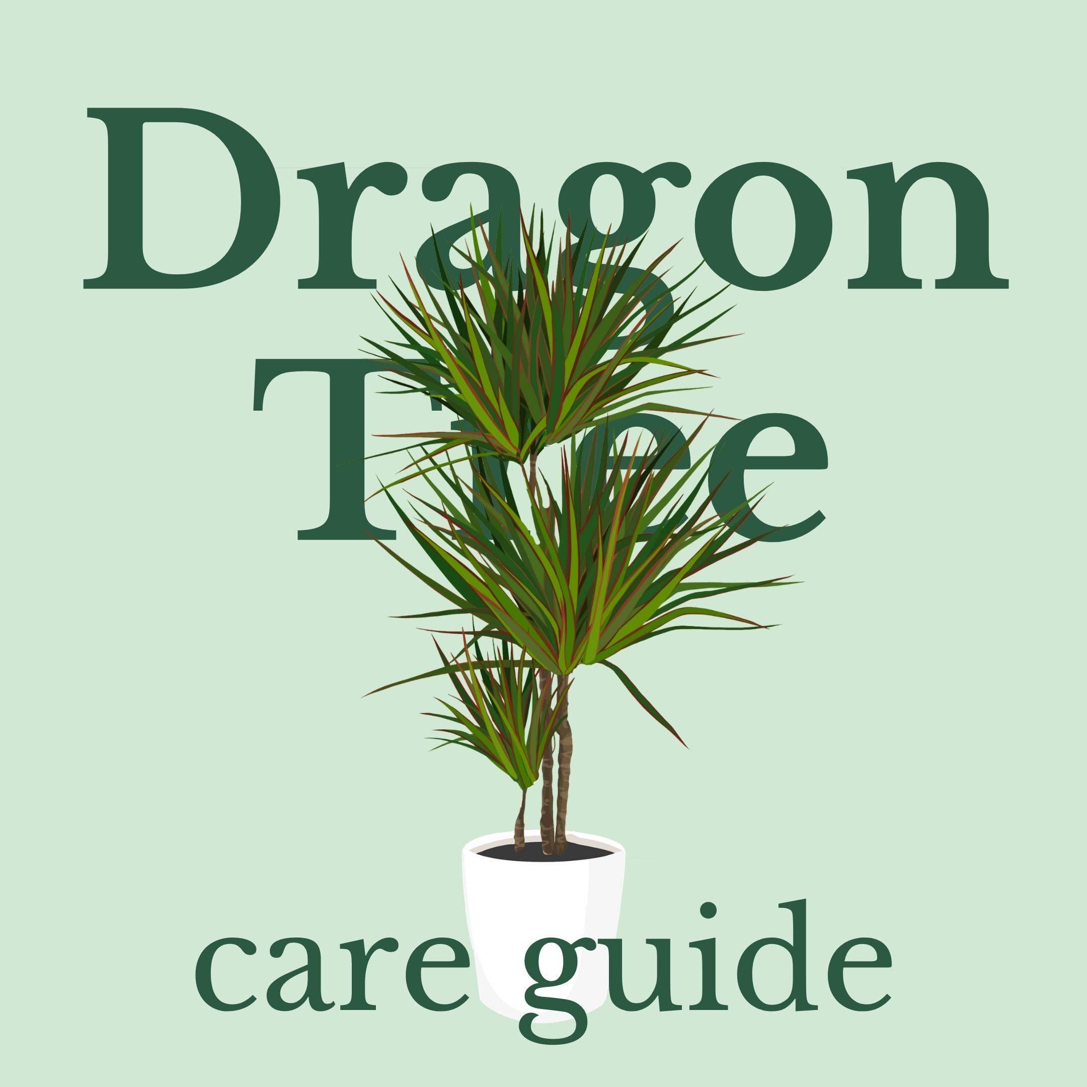 Drawing of dragon tree plant