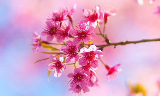 Japanese Cherry Extract Rich in rejuvenating and anti-oxidative ingredients; it strengthens, softens