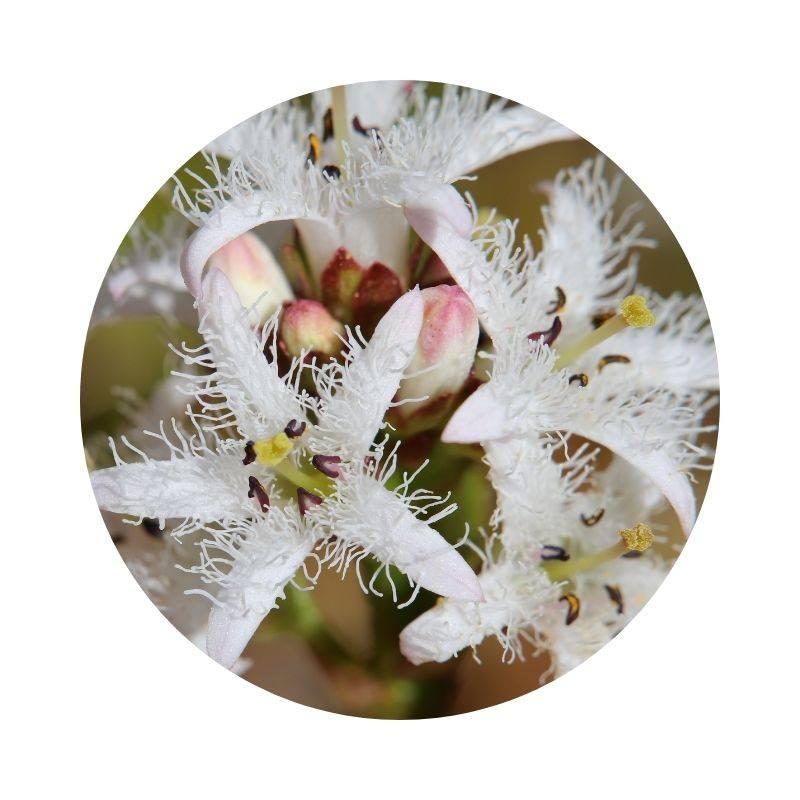 Heilpflanzen Heilkräuter Lexikon Heilwirkung Wirkung FIEBERKLEE Menyanthes trifoliata