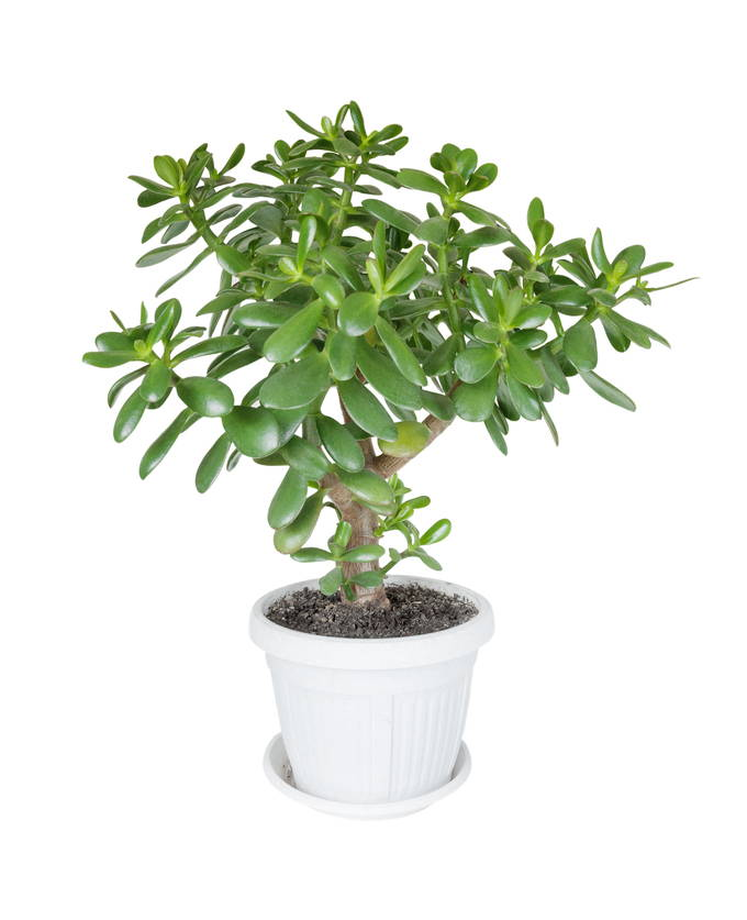 Jade Plant Care Choosing The Right Pot And Soil Succulent