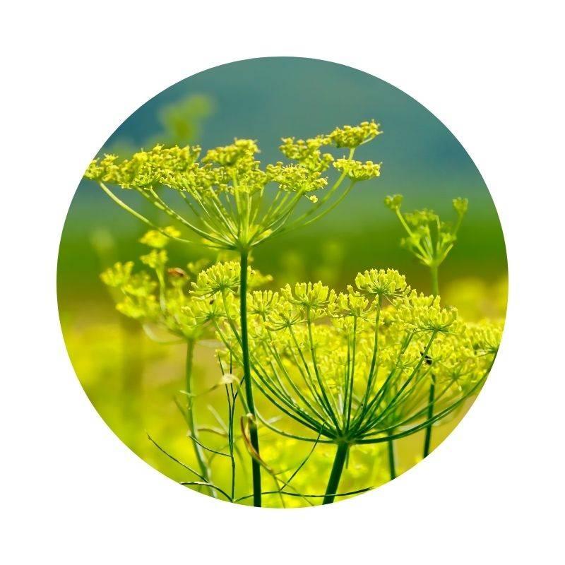 FENCHEL Foeniculum vulgare Heilpflanzen Heilkräuter Lexikon Heilwirkung Wirkung