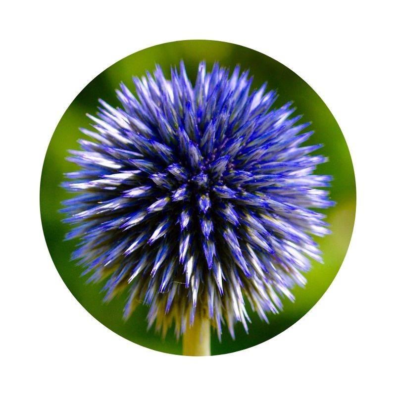 KUGELDISTEL Echinops Heilpflanzen Heilkräuter Lexikon Heilwirkung Wirkung