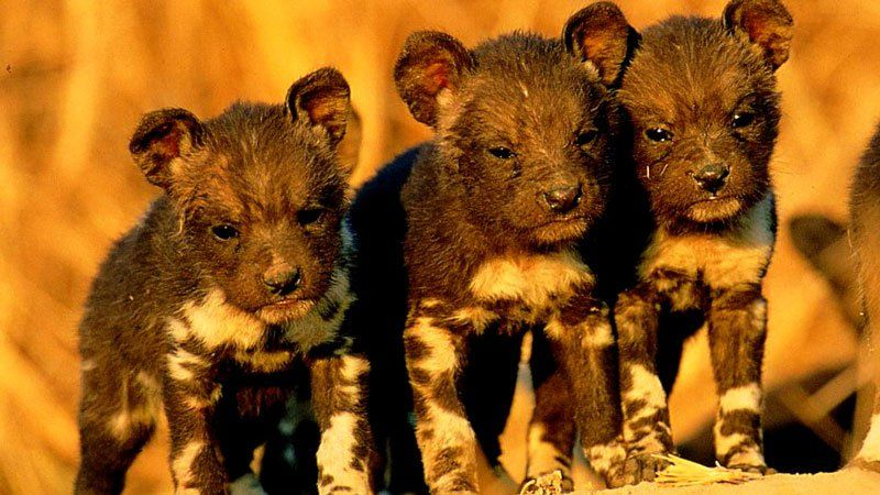Wild African Dog puppies, Kruger National Park, South Africa