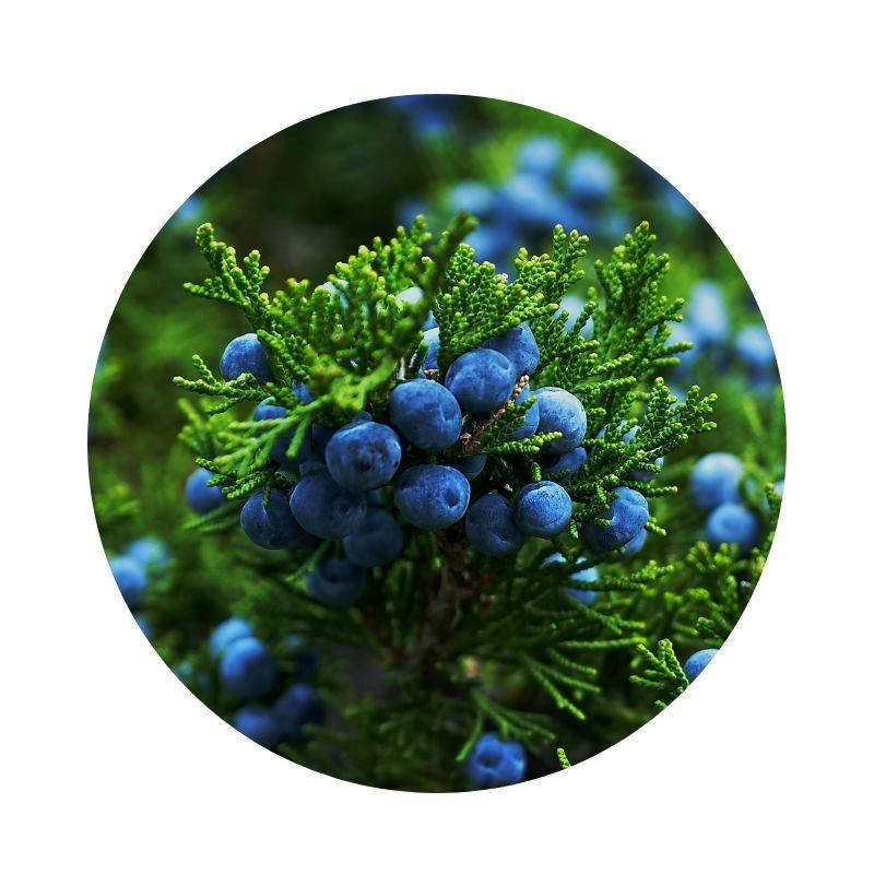 WACHOLDER Juniperus communis Heilpflanzen Heilkräuter Lexikon Heilwirkung Wirkung