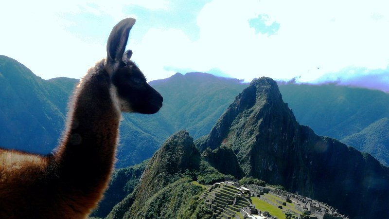 Even the llamas love Machu Picchu, Peru