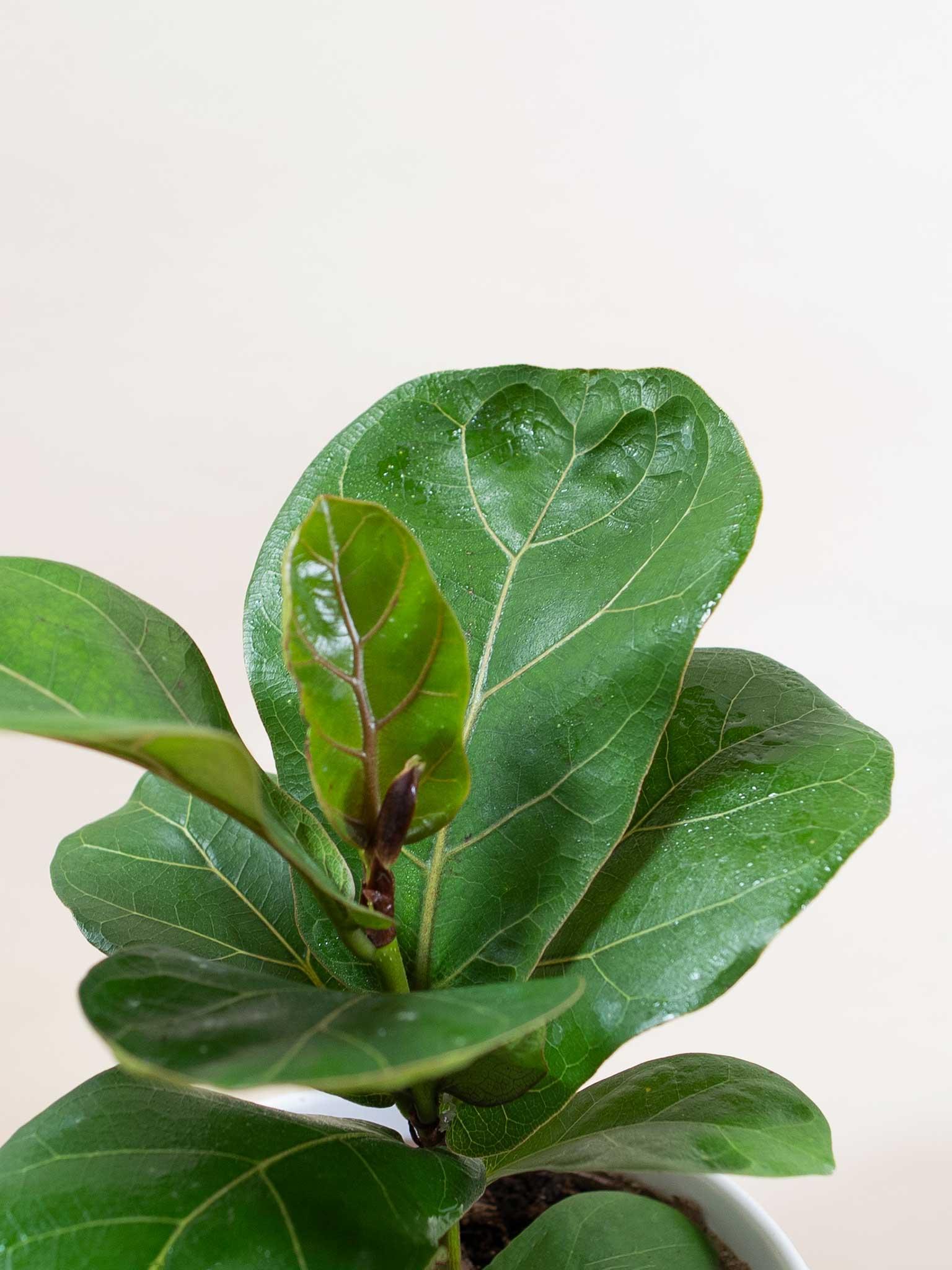 Dwarf fiddle leaf fig leaf