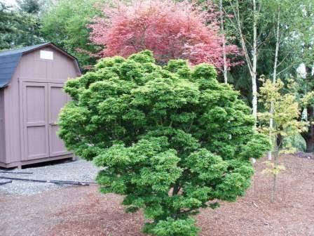 shishigashira tree