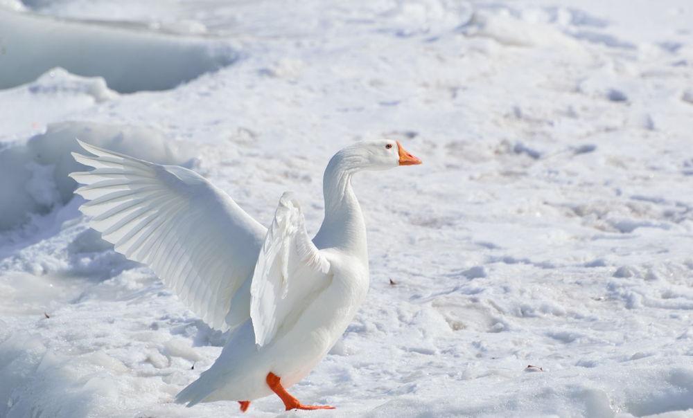 gansos de nieve