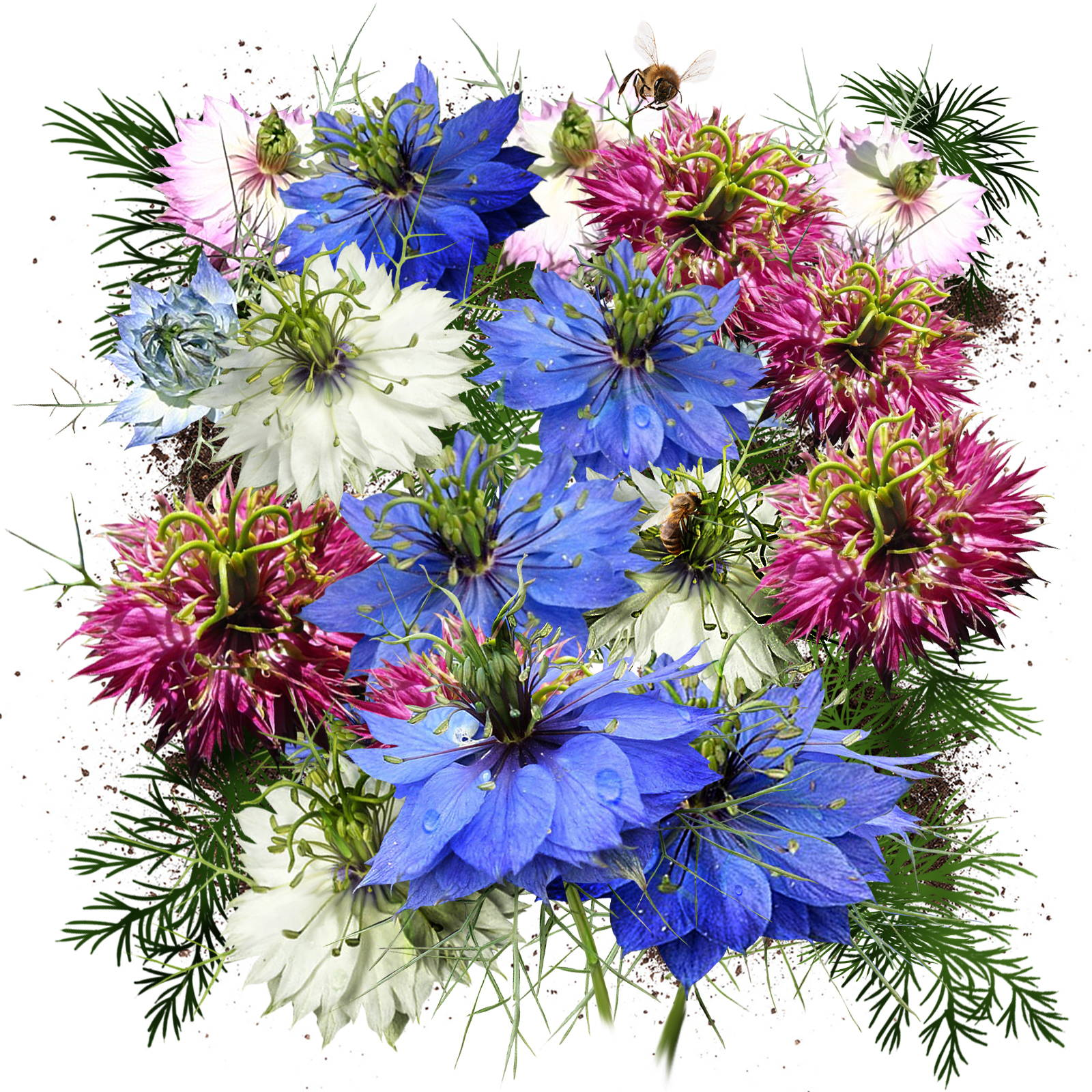 Love In A Mist Seeds
