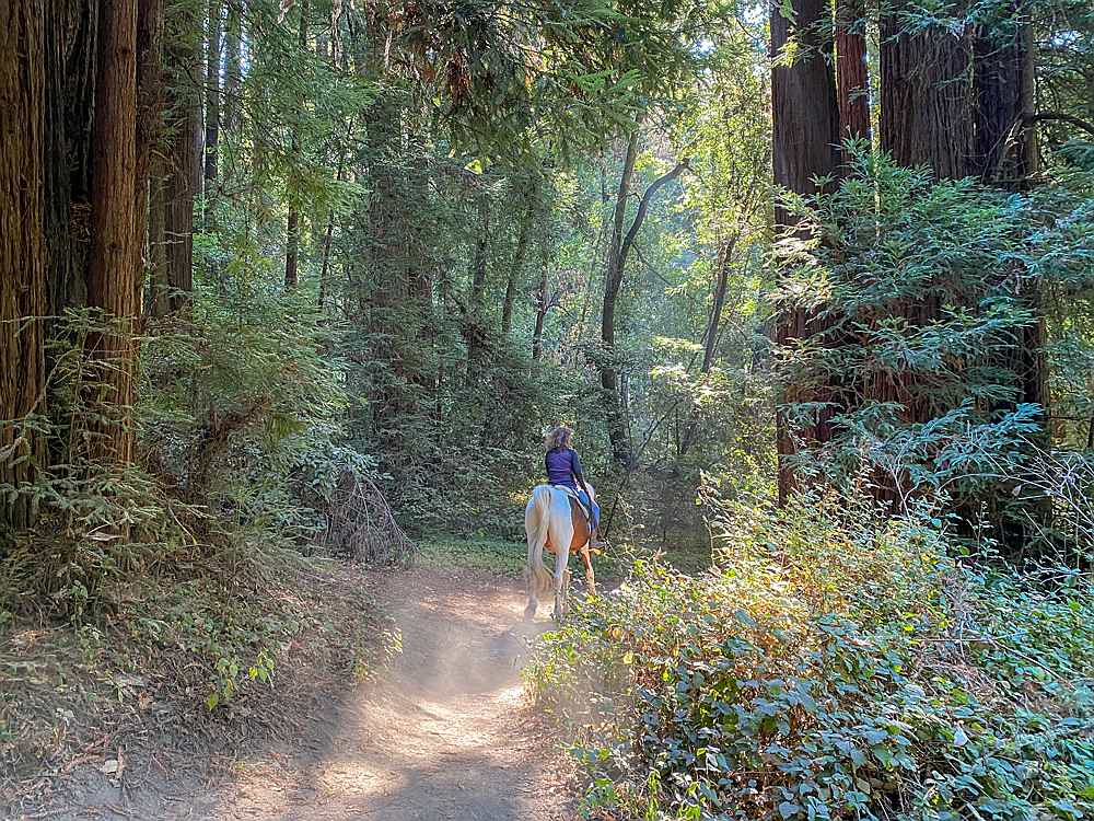 Redwoods at Henry Cowell State Park