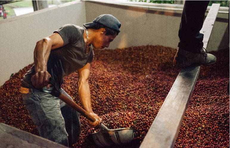 A man shoveling coffee cherries from a storage vat.