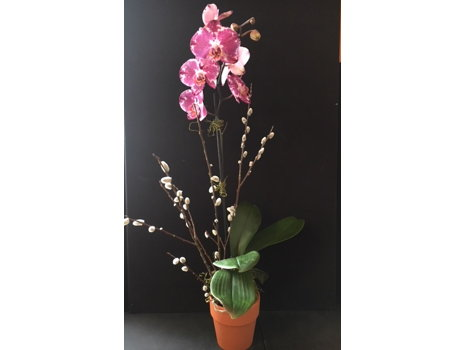 Beautiful Pink Phalaenopsis Orchid