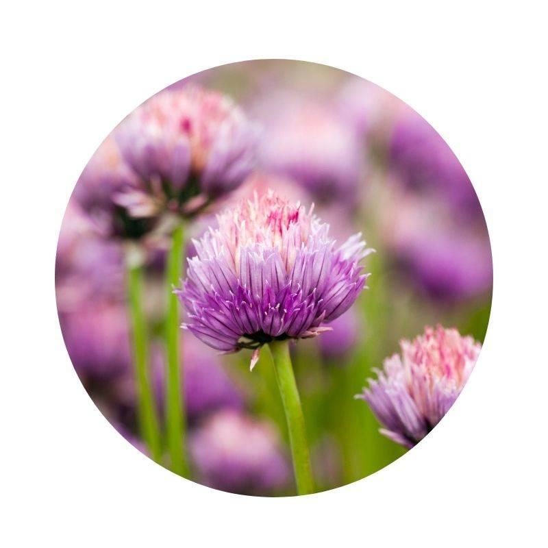 KNOBLAUCH Allium sativum Heilpflanzen Heilkräuter Lexikon Heilwirkung Wirkung